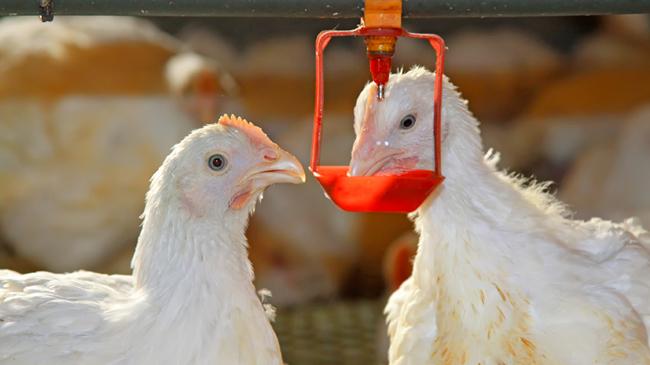 Tavuklarda suyun ve su önemi