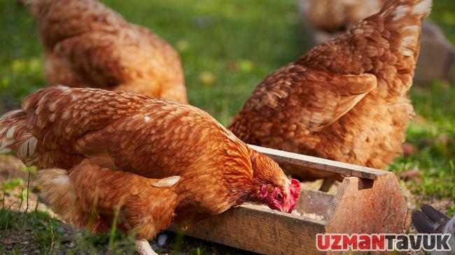 Yumurta büyüklüğünün kontrol altına alınması ve erken dönemde daha büyük yumurtalar elde etmenin yolları