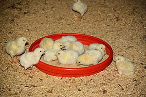 Broyler kanatlılarda topallıkla alakalı bakteriler tespit edildi