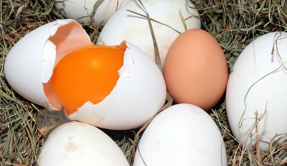 Fındık Bahçesinde Organik Yumurta Üretiyor